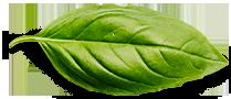 basil-leaf